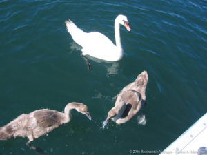 Fishers Island Swans